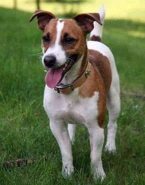 Jack russel perro Jack Russell Terrier Jack Russell Terrier Jackrussel2