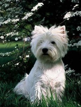 Westhighland perro West Highland White Terriers West Highland White Terriers Westhighland3