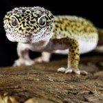 Geckos Leopardo