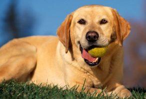Labrador perro Labrador Labrador Labrador2