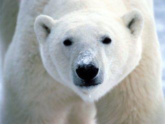 Oso polar animales y mascotas