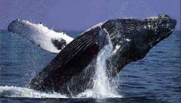 ballena gris  Ballena gris ballena gris