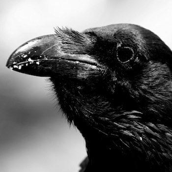 cuervos animales Cuervo Cuervo cuervo