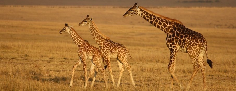 masai mara jirafas Masai Mara Masai Mara masai mara jirafas1