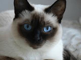 siames gato Siamés  Siamés  siames