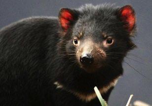 tasmania  Diablo de tasmania tasmania