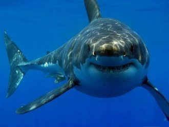 tiburon blanco animales y mascotas