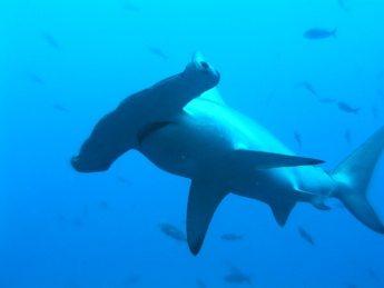 tiburon Tiburón Tiburón tiburon