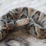 Serpiente yarará