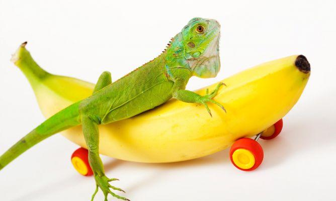 alimentacion iguana Alimento ideal para Iguanas Alimento ideal para Iguanas iguana alimentacion xl x80xX