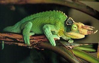 camaleón de jackson mascota reptiles Camaleón de Jackson Camaleón de Jackson jacksons chameleon1