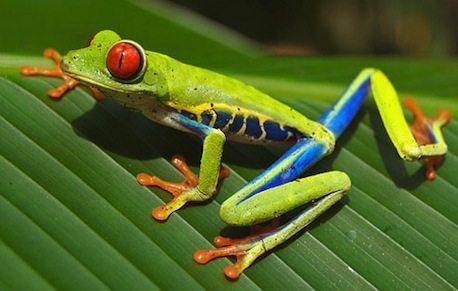 rana verde de ojos rojos Rana verde de ojos rojos Rana verde de ojos rojos ojorojo2
