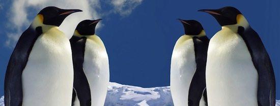 animales pinguinos Hace 10 millones de años abundaban los pingüinos en África Hace 10 millones de años abundaban los pingüinos en África pinguinos