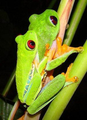 rana verde ojos rojos reproducción Rana verde de ojos rojos Rana verde de ojos rojos rana verde macho y hembra
