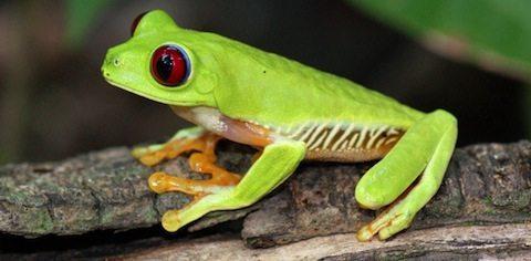 ranas verde de ojos rojos Rana verde de ojos rojos Rana verde de ojos rojos rana verde ojos rojos 3