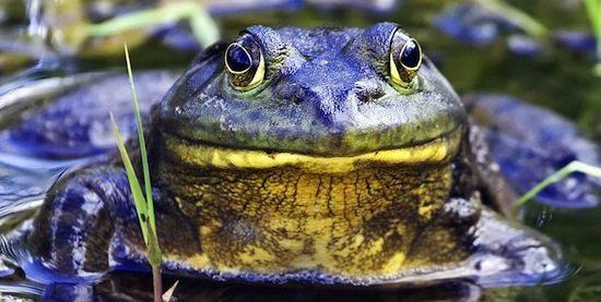 rana toro Rana toro Rana toro 800px Bullfrog   natures pics