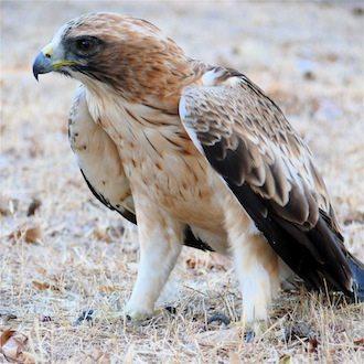 Aguila calzada Águila calzada Águila calzada Aguila calzada