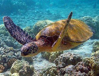 tortuga verde Tortuga verde Tortuga verde Hawaii turtle 2