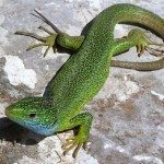 Lagarto verde occidental