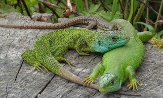 Lagarto verde occidental Lagarto verde occidental Lagarto verde occidental Lagarto verde occidental