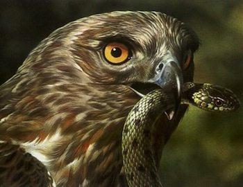 aguila culebrera alimentación Águila culebrera Águila culebrera aguila culebrera