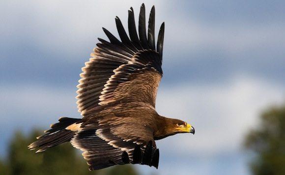 aguila imperial vuelo Águila imperial ibérica Águila imperial ibérica aguila imperial vuelo