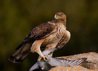 aguila-perdicera Aguila perdicera Aguila perdicera aguila perdicera