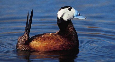 malvesia cabeziblanca 1 ave Malvasía cabeciblanca Malvasía cabeciblanca malvesia cabeziblanca 1