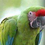 Amazona Corona Roja