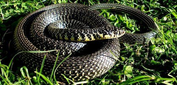 Culebra verdiamarilla | Wikifaunia, tu enciclopedia de animales