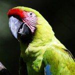 Guacamayo verde mayor