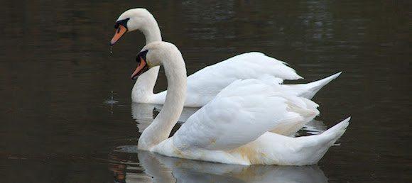 cisne vulgar Cisne mudo Cisne mudo cisne vulgar