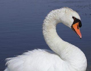 cisne vulgar Cisne mudo Cisne mudo cisne vulgar1