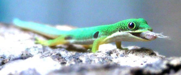 comida gueckos Alimenta a tus geckos Alimenta a tus geckos comida gueckos