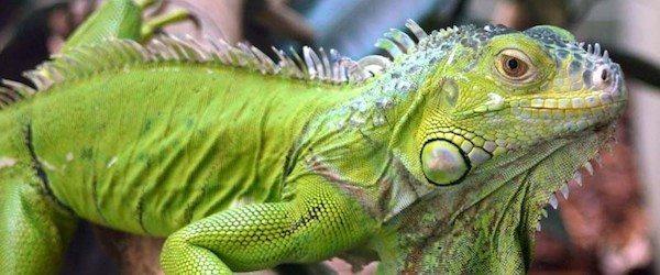 cuidar a tu iguana Los 10 mandamientos para el cuidado de tu iguana Los 10 mandamientos para el cuidado de tu iguana cuidar a tu iguana1