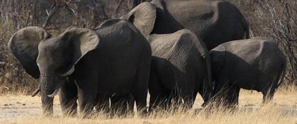 elefantes Envenenan a más de 80 Elefantes con Cianuro en Zimbabwe Envenenan a más de 80 Elefantes con Cianuro en Zimbabwe elefantes