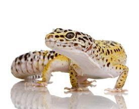 gecko comida Alimenta a tus geckos Alimenta a tus geckos gecko comida