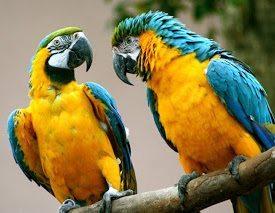 guacamayo azul y amarillo Guacamayo azul y amarillo Guacamayo azul y amarillo guacamayo azul y amarillo