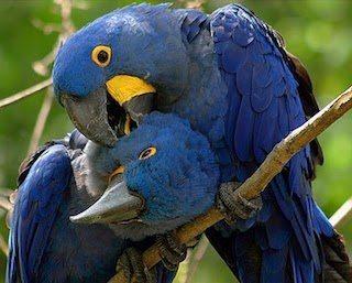 guacamayo_azul Guacamayo azul Guacamayo azul guacamayo azul1