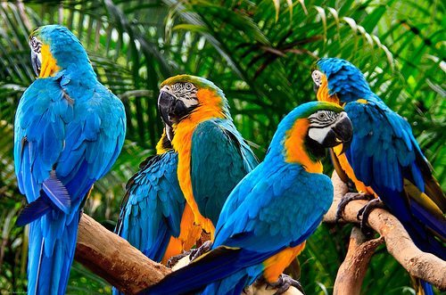 guacamayos Guacamayo azul y amarillo Guacamayo azul y amarillo guacamayos