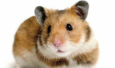 imagen-hamster