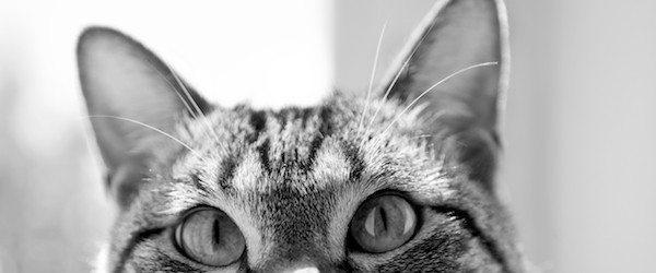 orejas de los gatos Limpiar las orejas de tu gato Limpiar las orejas de tu gato orejas de los gatos