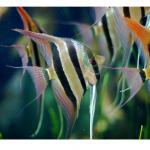 peces angel Guía para veces de acuario Guía para veces de acuario peces angel