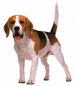 perro cola Entiende a tu perro: Su lenguaje Entiende a tu perro: Su lenguaje perro cola