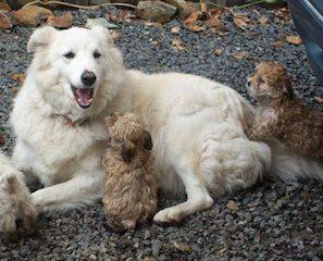 perros ¿Por qué esterilizar a los perros? ¿Por qué esterilizar a los perros? perros