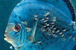 pez disco Guía para veces de acuario Guía para veces de acuario pez disco