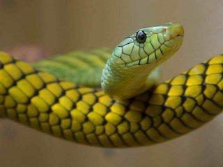 serpiente enfermedades Enfermedades de las serpientes Enfermedades de las serpientes serpiente enfermedades