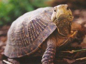 tortuga Cuidados para tortugas de tierra Cuidados para tortugas de tierra tortuga