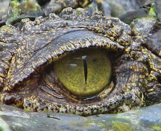 cocodrilo mexicano o pantano  Cocodrilo Mexicano cocodrilo mexicano 4