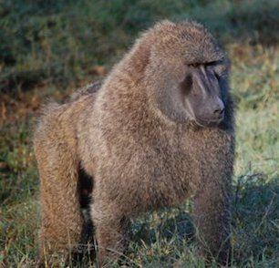 babuino Babuino Babuino babuino